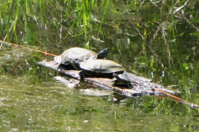 3 Turtles Sunning Themselves On A Log