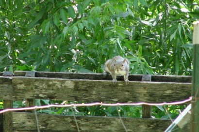 Squirrel on pallet fence.