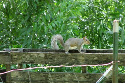 Squirrel walking edges of pallet fence.
