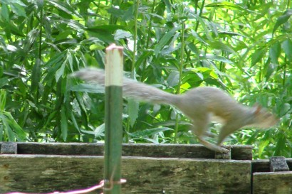 Squirrel leaping along pallet fence top.