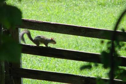 Squirrel on wooden gate.