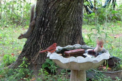 Cardinals playing in birdbath while squirrel climbs down tree behind them.