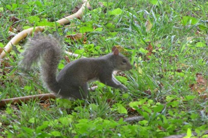 Squirrel looking for buried nut.