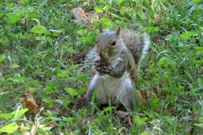 Squirrel taste-testing nut.