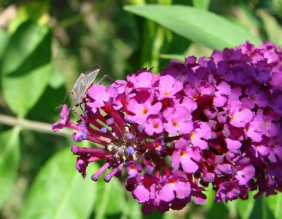 Royal Red Butterfly Bush (Buddleia davidii 'Royal Red')