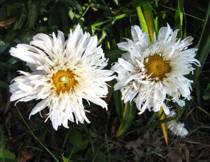Fringed Shasta Daisy (Leucanthemum x superbum 'Aglaia')