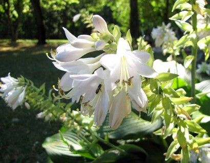 Hosta Blue Angel blooms