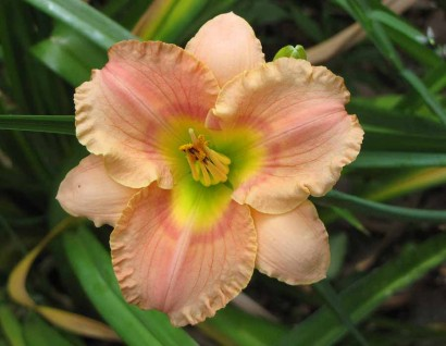 Daylily - peach colored