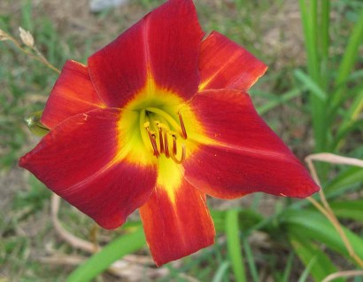 Daylily - Red