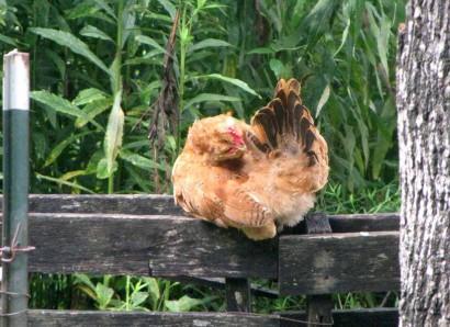Chicken Preening