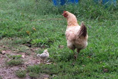 Buff Orpington Hen And Chick