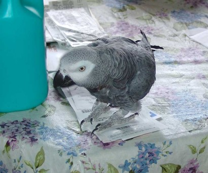 African Gray Parrot on table.