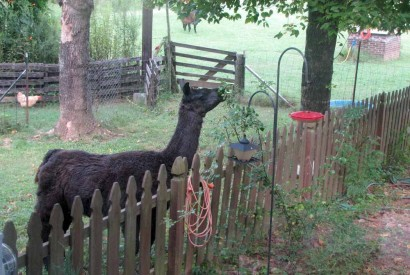 Llama eating rosebush. (www.ruralramblings.com)