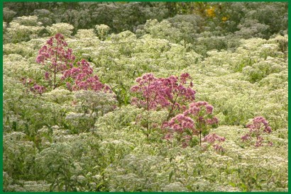 Field with Joe Pye Weed (Eupatorium purpureum) and Meadow Rue (Thalictrum . .)