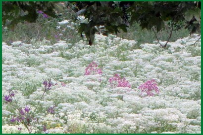 Field of Meadow Rue (Thalictrum . .), Joe Pye Weed (Eupatorium purpureum), and Ironweed (Vernonia altissima)