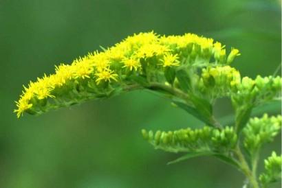 Goldenrod bloom closeup.