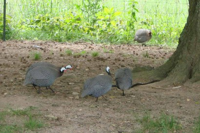 Snake racing for tree with guineas in hot pursuit!