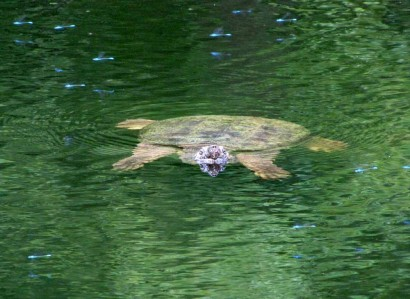 Turtle floating in pond (RuralRamblings.com)