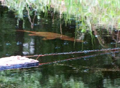 Turtle swimming underwater in pond.