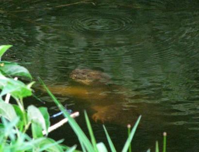 Turtle underwater near bank of pond.