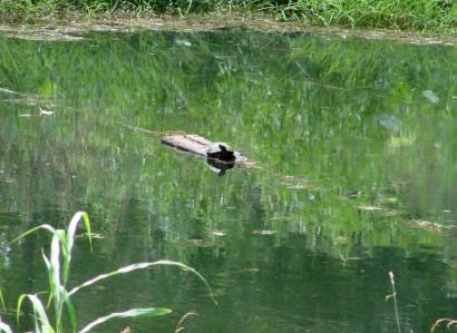 Turtle sunbathing on log.