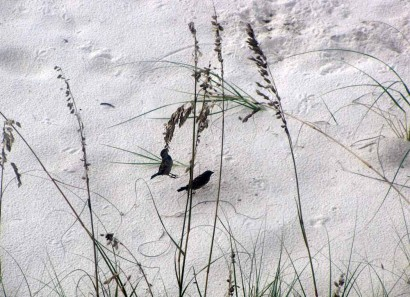 Birds eating sea oats at Panama City Beach, Florida