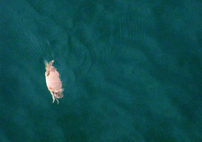 Crab swimming in the Gulf of Mexico at Panama City Beach, Florida.