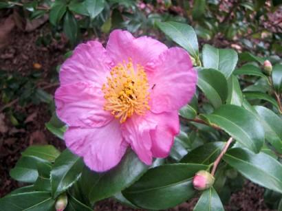 Camellia 'Winter Star's' (camellia oleifera) bloom