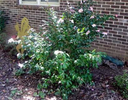 Camellia 'Winter's Star' (camellia oleifera) bush