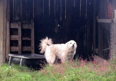 Neffie, our Maremma Livestock Guardian Dog, barking a warning.