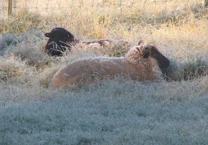 Sheep With Frosty Wool