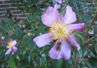 Frosty Camellia Blossom With Cold Bee