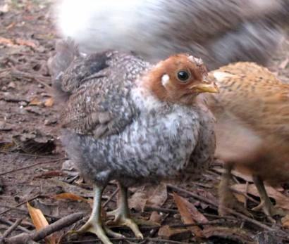The Chimera Chicken Bird Chick