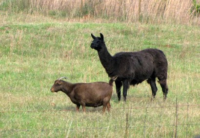 Llama And Goat