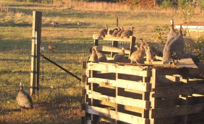 Guinea hens and guinea keets perched on pallets.