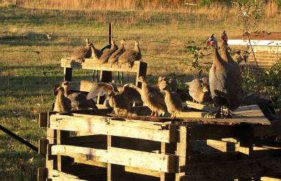 Guinea hens and guinea keets at sunset.