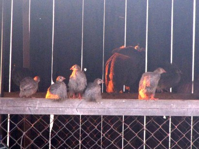 Guinea hens and guinea keets roosting.