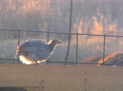 Guinea keet perched on gate at sunset.