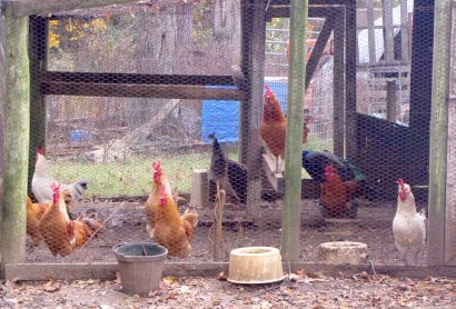 Red Roosters And Peahens