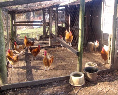 White Rooster And Red Roosters