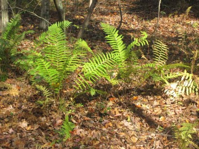 Ferns in woods on Kings Keep Farm.