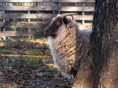 Shetland Sheep: our ewe, Valhrona.