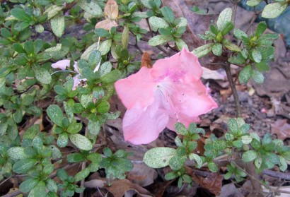 Autumn Debutante Azaela