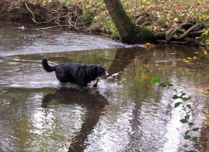 Toby, American Working Farmcollie, crossing creek.