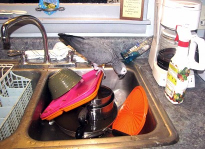 The African Grey Parrot In The Sink