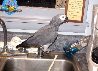 The African Grey Parrot Sitting On A Soap Dispenser.