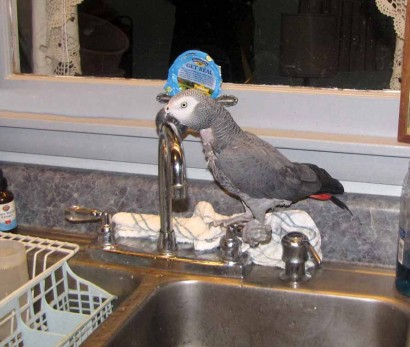 The African Grey Parrot - picture of her sitting on cold water handle.