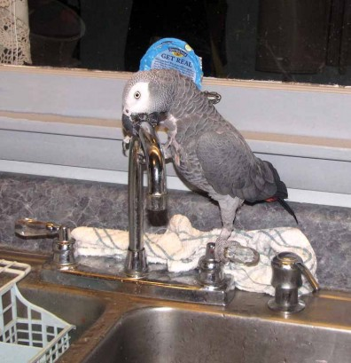 Pet Parrot playing by sink.