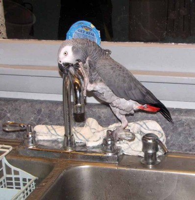 The African Gray Parrot stretching to reach the faucet.