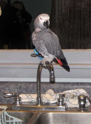 The African Gray Parrot sitting on top of faucet.